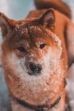 De rode gangen van Hondshiba-inu in de vorst, sneeuw op de wol royalty-vrije stock fotografie