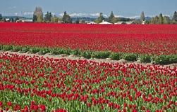 De rode Gebieden van de Tulp in het Landschap van de Lente Royalty-vrije Stock Afbeeldingen