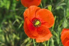 De rode gebiedspapavers groeien in het groene gras, ochtend Stock Afbeeldingen