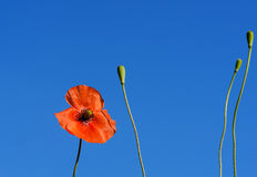 De rode gebiedspapavers groeien in het groene gras, ochtend Royalty-vrije Stock Afbeeldingen