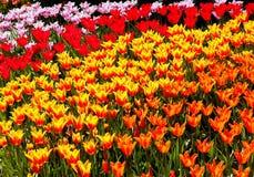 De rode Geeloranje Bloemen Skagit Washington van Tulpen Stock Foto