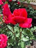 De rode gekleurde bloem nam in volledige bloei toe Stock Afbeelding