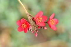 De rode gekleurde krabappel, Siercrabappleinstallatie één hiervan voor overvloedige pop van wit, roze, of rood bloeit elke lente stock fotografie