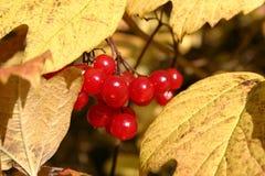 Rode Bessen Gele Bladeren Royalty-vrije Stock Foto's
