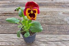 De rode gele bloem van het altvioolviooltje stock foto's