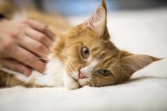 De rode gestreepte kat van Maine Coon Royalty-vrije Stock Foto's