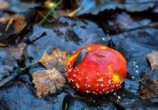 De rode giftige paddestoelamaniet, riep ook panter GLB of vals rouge, in hout stock fotografie