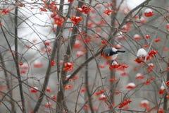 De rode goudvink zit op boomtak Royalty-vrije Stock Foto's