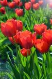 De rode heldere tulpen Tulipa groeien in tuinbedden stock foto's
