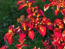 De rode herfst Stock Afbeeldingen