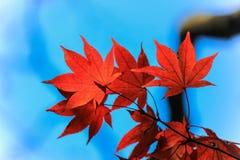 De rode herfst doorbladert met duidelijke hemelachtergrond Stock Foto