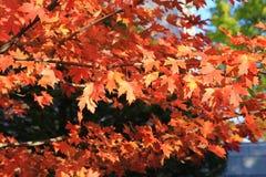 De rode herfst in Montpelier, de V.S. Stock Afbeelding