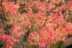 De rode Herfst van het Boom Oranje blad Royalty-vrije Stock Foto