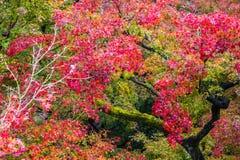 De rode Herfst van het Boom Oranje blad Royalty-vrije Stock Afbeelding