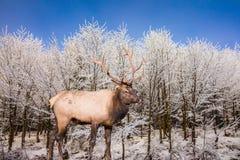 De rode herten antlered op rand van het bos Stock Afbeelding