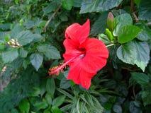 De rode hibiscus bloeit gegroeid in botanische tuin stock afbeeldingen