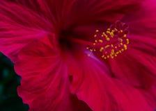 De rode Hibiscus sluit omhoog Royalty-vrije Stock Afbeeldingen