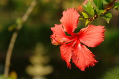 De rode hibiscus sluit omhoog onder zonlicht stock foto