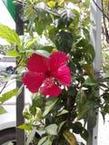 De rode hibiscusbloem is bloeiend stock afbeeldingen