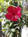 De rode hibiscusbloem is bloeiend royalty-vrije stock foto