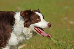 De rode hond van de Collie van de Grens Stock Foto's
