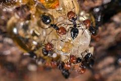 De rode hoofd dichte omhooggaande macro van mieren honeypot Myrmecocystus Royalty-vrije Stock Fotografie