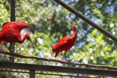 De rode Ibissen van de Ooievaarsvogel Stock Afbeelding