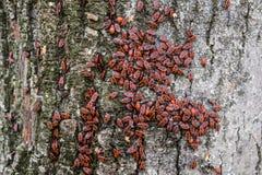 De rode insecten zonnebaden in de zon op boomschors De herfst warm-militairen voor kevers Stock Fotografie