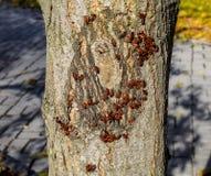 De rode insecten zonnebaden in de zon op boomschors De herfst warm-militairen voor kevers Stock Foto's