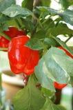 De rode Installatie van de Groene paprika van de Spaanse peper Stock Afbeeldingen