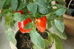 De rode Installatie van de Groene paprika van de Spaanse peper Stock Afbeelding