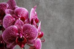 De rode kastanjebruine bloem van de phalaenopsisorchidee van orchideeënbloemen op donkere bedelaars stock afbeeldingen