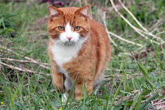De rode kat Stock Fotografie