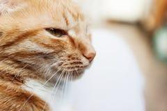 De rode kat, close-upportret van het hoofd, loenste in de zon en Royalty-vrije Stock Foto's