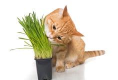 De rode kat eet groen gras royalty-vrije stock afbeeldingen