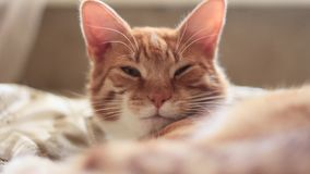 De rode kat fronst en knippert stock footage