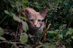 De rode kat op snuffelt rond Stock Foto's