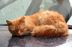 De rode kattenslaap op een autokap royalty-vrije stock afbeelding