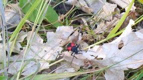 De rode Keverbarbeel kruipt op een droog blad stock videobeelden