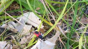 De rode Keverbarbeel kruipt op een droog blad stock footage
