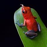 De rode kikker van het vergiftpijltje Royalty-vrije Stock Afbeeldingen