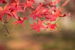 De rode kleurenbladeren in de herfst van Japan Stock Foto