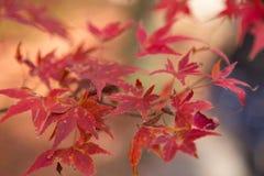 De rode kleurenbladeren in de herfst van Japan Royalty-vrije Stock Foto