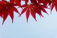 De rode kleurenbladeren op achtergrond met exemplaarruimte Stock Foto's