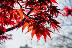 De rode kleurenbladeren op de boom Royalty-vrije Stock Afbeeldingen