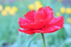 De rode Knop van een Tulp op groene achtergrond royalty-vrije stock fotografie