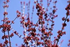 De rode Knoppen die van de Boombloesem op Takken tegen de Blauwe Hemel groeien stock afbeelding