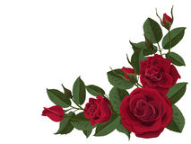De rode knoppen van bloemenrozen en groene bladeren Royalty-vrije Stock Afbeeldingen