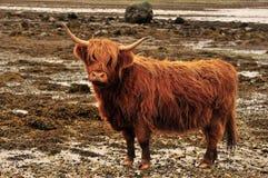 De rode koe van het Hoogland of Kyloe, Argyll, Schotland Stock Afbeeldingen