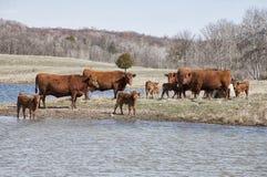 De rode koeien van Angus met kalveren Royalty-vrije Stock Fotografie